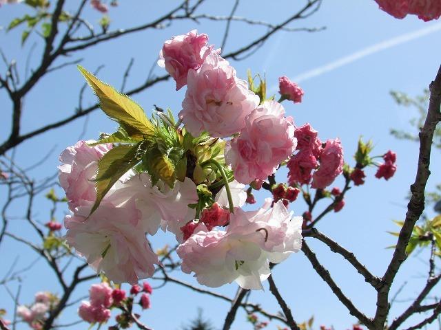 咲き誇るボタン桜_e0321325_15370802.jpg