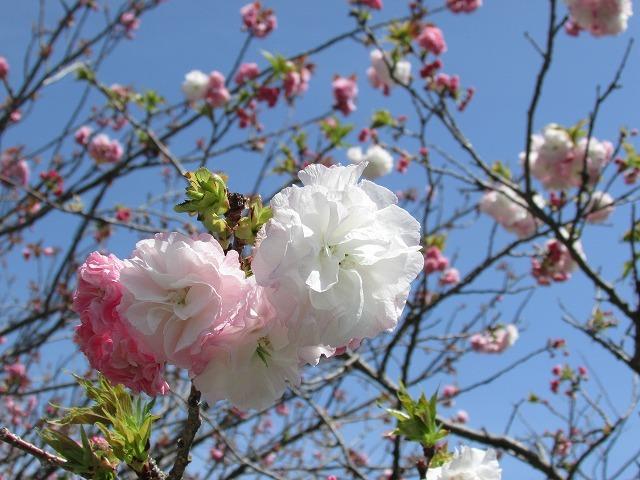 咲き誇るボタン桜_e0321325_15372034.jpg
