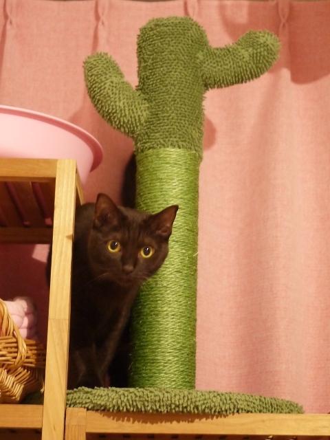 ミニサボテン型キャットタワー猫 あんしゃぁりぃ編。_a0143140_22345796.jpg