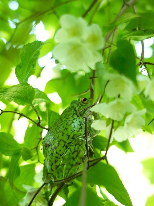 梅花空木と森青蛙・・・「お尻も洗って欲しい  パートⅡ」_d0005250_1734283.jpg