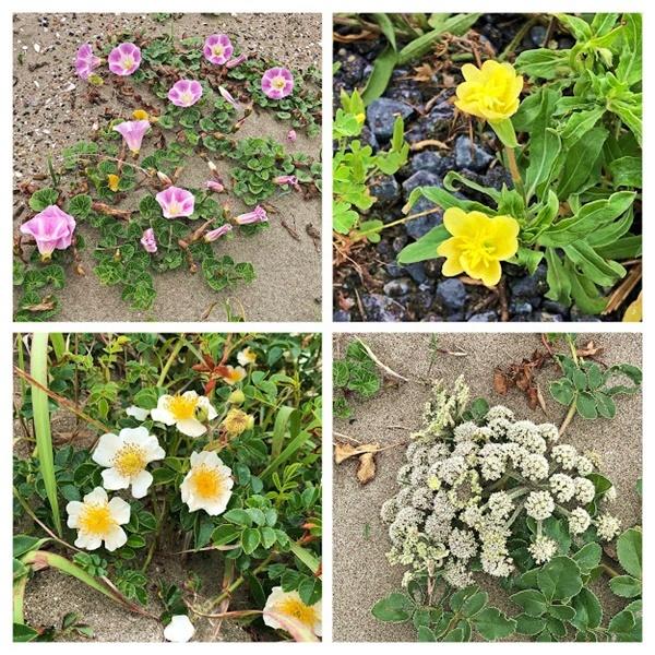 浜辺の植物_c0019551_15491889.jpg