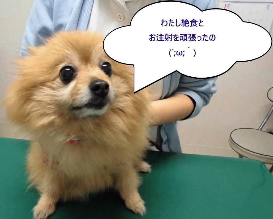【ポメラニアンの加鈴ちゃん】_b0059154_09364923.jpg