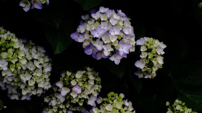 紫陽花_c0129300_13045665.jpg