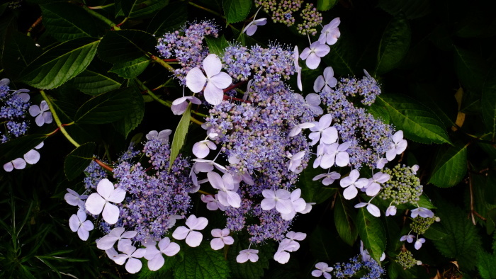 紫陽花_c0129300_13051367.jpg