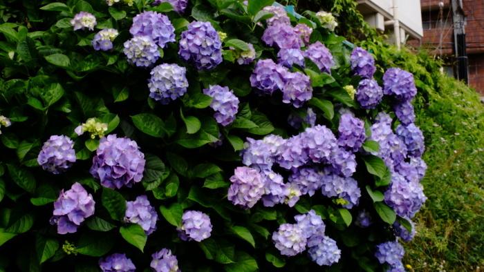 紫陽花_c0129300_13053811.jpg