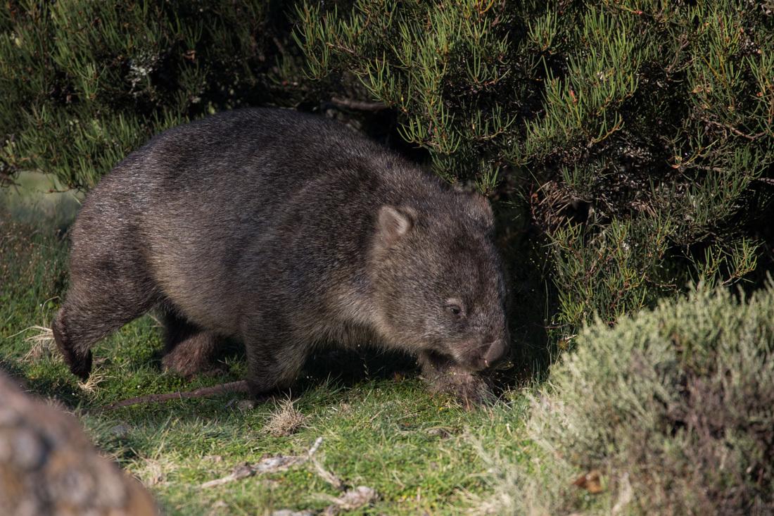 Bear-nosed Wonbat ウォンバット <タスマニア>_c0248100_19595103.jpg