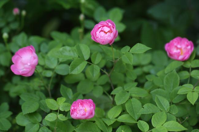 薔薇 深紅のラバクルート、ピンクのローブリッターなど _a0357206_21031878.jpg