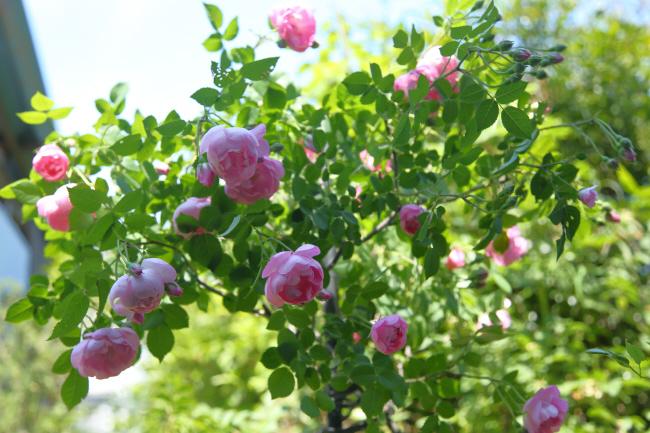 薔薇 深紅のラバクルート、ピンクのローブリッターなど _a0357206_21041427.jpg