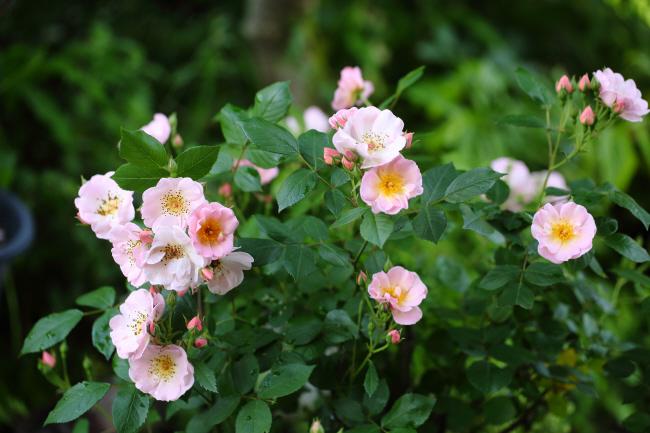 薔薇 深紅のラバクルート、ピンクのローブリッターなど _a0357206_21054096.jpg