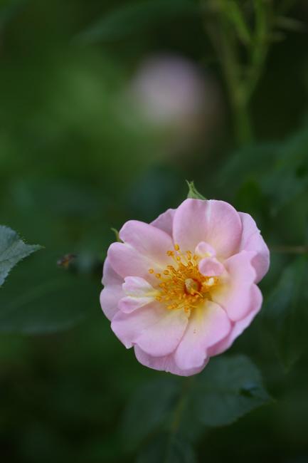 薔薇 深紅のラバクルート、ピンクのローブリッターなど _a0357206_21055100.jpg