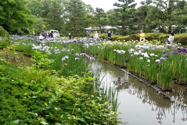 京都府立植物園 花菖蒲満開_e0048413_21390073.jpg