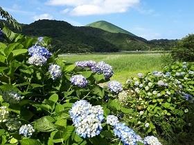 【伊豆高原 池の里山 紫陽花ロード】_e0093046_16444419.jpg