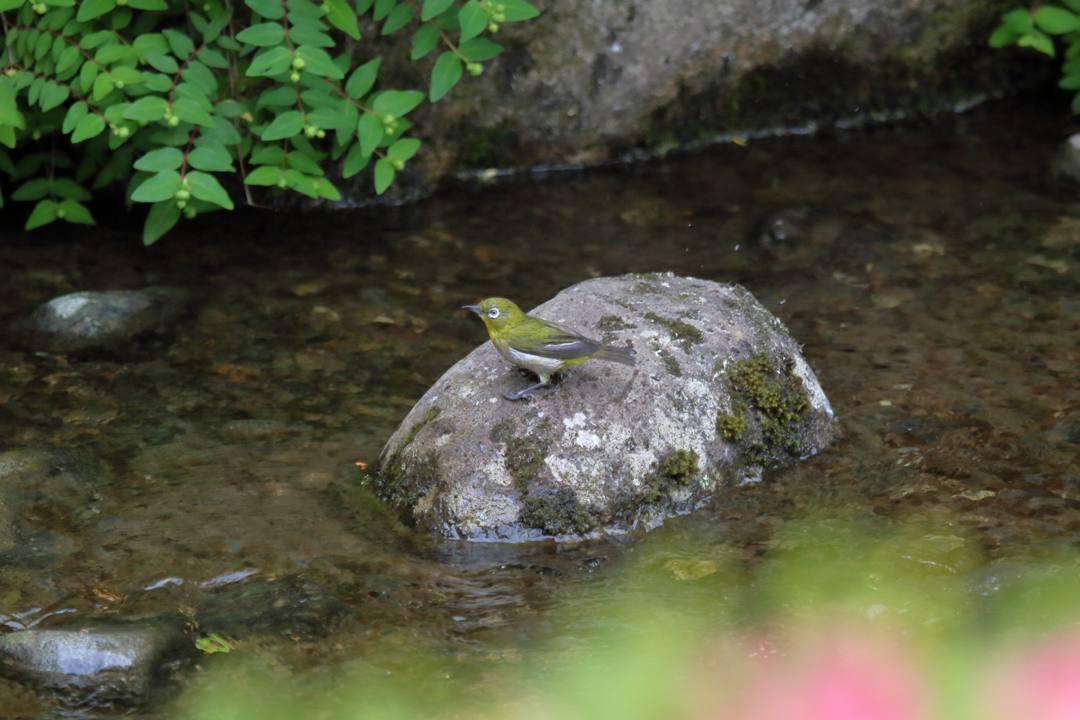 メジロの水浴び_e0403850_21335321.jpg
