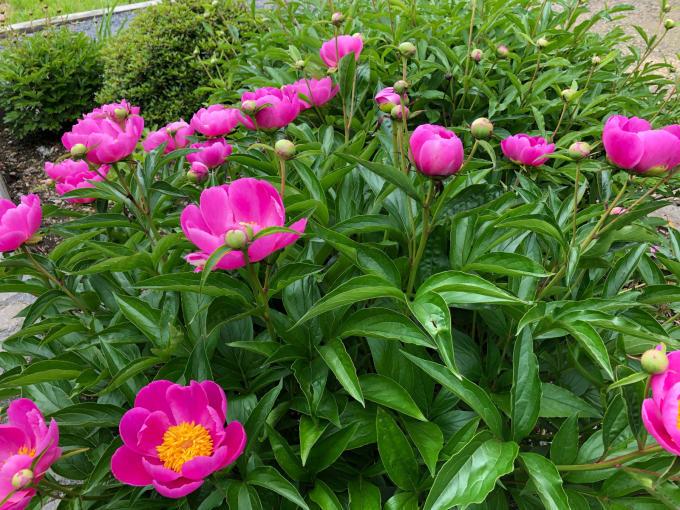 最近のお庭_b0093660_11395496.jpg