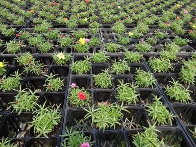 名古屋港水族館前花壇の植栽R2.5.13_d0338682_14250491.jpg