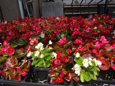 名古屋港水族館前花壇の植栽R2.5.13_d0338682_14251413.jpg