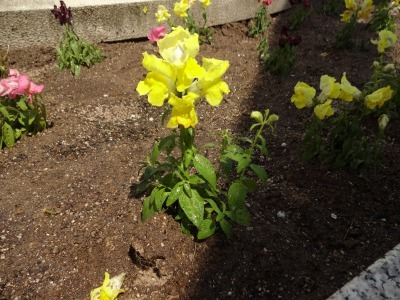 名古屋港水族館前花壇の植栽R2.5.13_d0338682_14271974.jpg