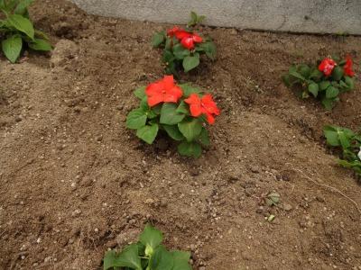 名古屋港水族館前花壇の植栽R2.6.3_d0338682_14445739.jpg