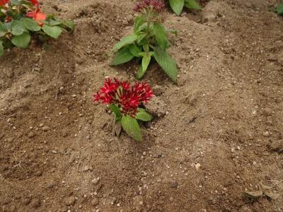 名古屋港水族館前花壇の植栽R2.6.3_d0338682_14451869.jpg