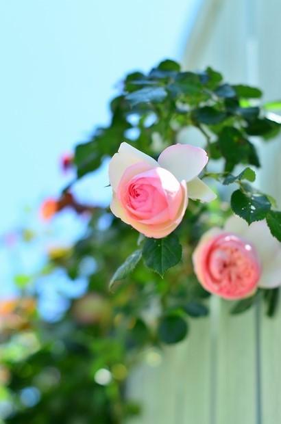 薔薇咲く庭_d0025294_16172885.jpg