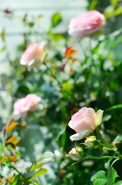 薔薇咲く庭_d0025294_16175238.jpg