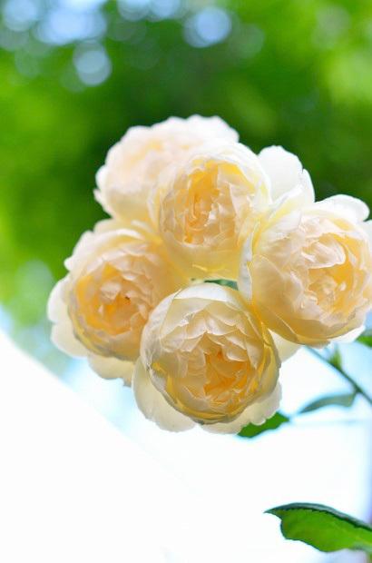 薔薇咲く庭_d0025294_16191813.jpg