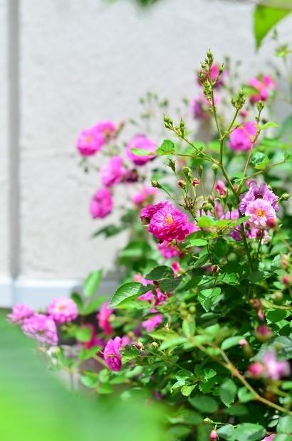 薔薇咲く庭_d0025294_16203088.jpg