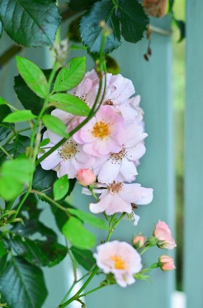 薔薇咲く庭_d0025294_16240758.jpg