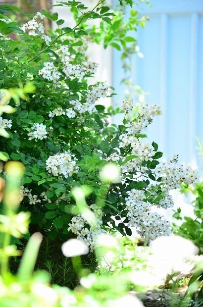 薔薇咲く庭_d0025294_16251356.jpg