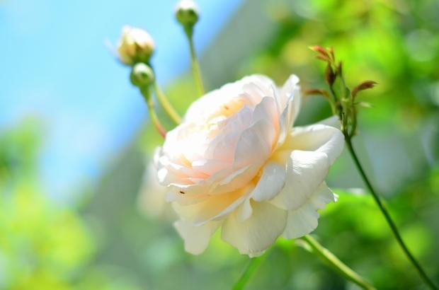 薔薇咲く庭_d0025294_16253956.jpg
