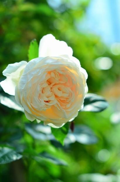 薔薇咲く庭_d0025294_16255726.jpg