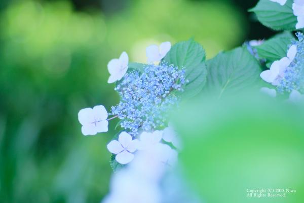 紫陽花とか_b0253706_21550606.png