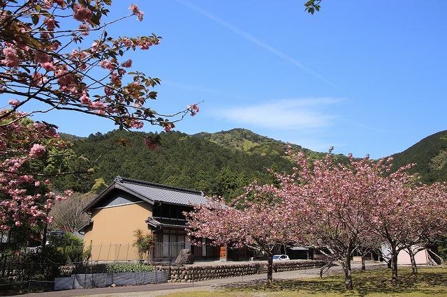 白石湖ボタン桜満開(撮影:4月19日)_e0321325_13290847.jpg