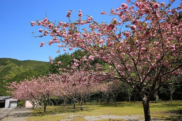 白石湖ボタン桜満開(撮影:4月19日)_e0321325_13304211.jpg