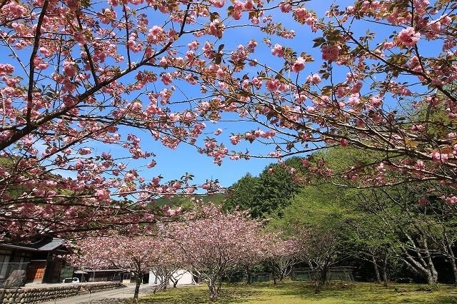 白石湖ボタン桜満開(撮影:4月19日)_e0321325_13305687.jpg