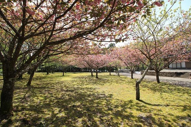 白石湖ボタン桜満開(撮影:4月19日)_e0321325_13310902.jpg