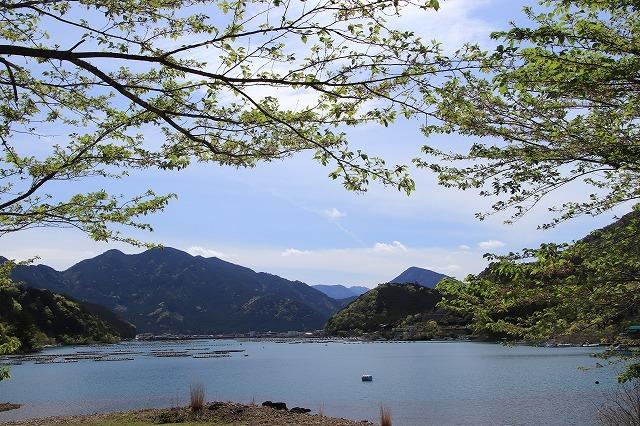 白石湖ボタン桜満開(撮影:4月19日)_e0321325_13312100.jpg