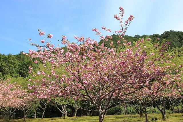 白石湖ボタン桜満開(撮影:4月19日)_e0321325_13315246.jpg