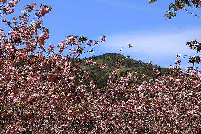 白石湖ボタン桜満開(撮影:4月19日)_e0321325_13320887.jpg