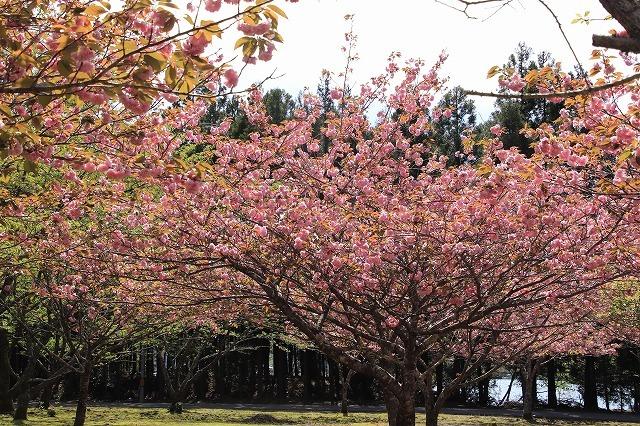 白石湖ボタン桜満開(撮影:4月19日)_e0321325_13322087.jpg