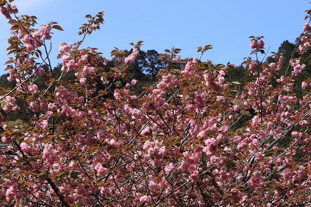 白石湖ボタン桜満開(撮影:4月19日)_e0321325_13323284.jpg