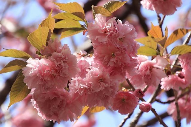 白石湖ボタン桜満開(撮影:4月19日)_e0321325_13324408.jpg