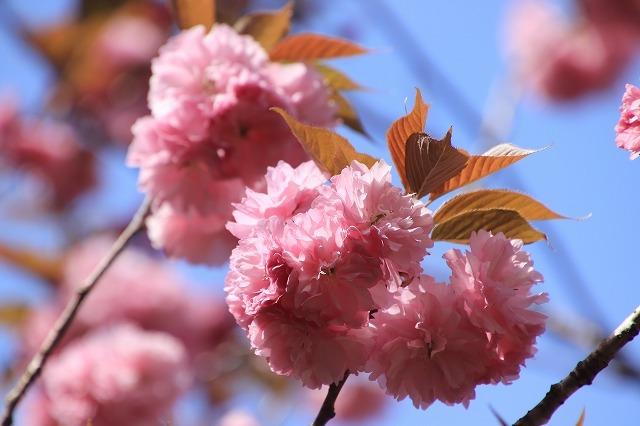 白石湖ボタン桜満開(撮影:4月19日)_e0321325_13325584.jpg