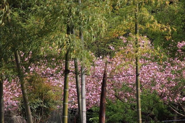 白石湖ボタン桜満開(撮影:4月19日)_e0321325_13331028.jpg