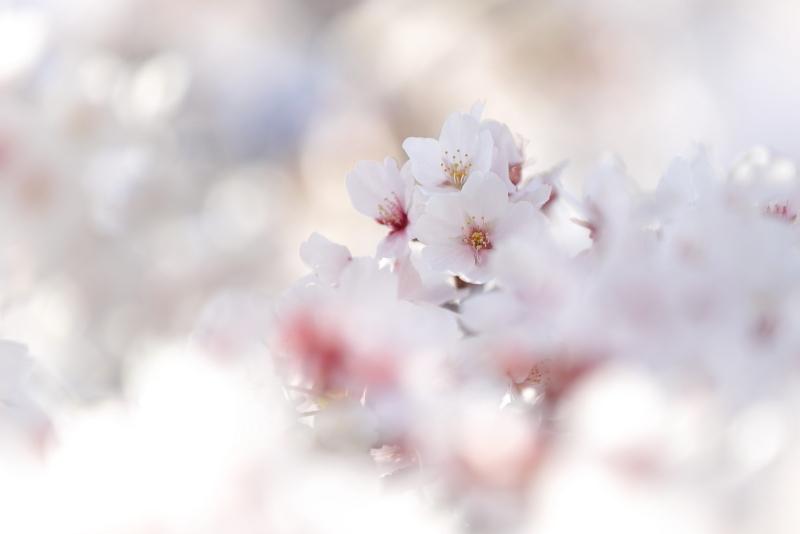2ヶ月遅れの桜です…_e0178131_18270592.jpg