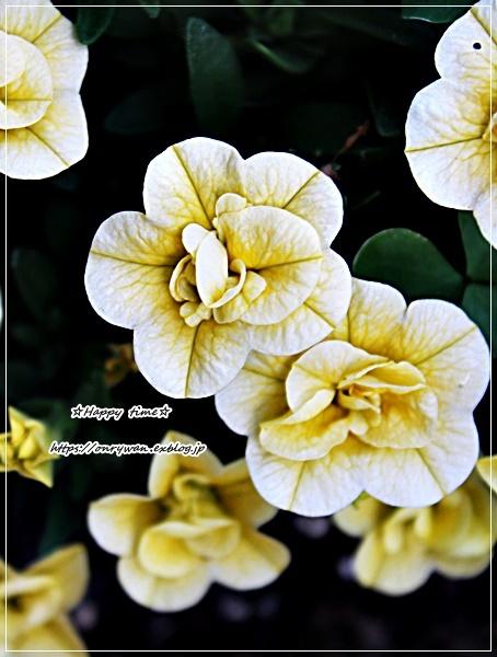 エビフライ弁当と庭からペチュニア八重♪_f0348032_18262884.jpg