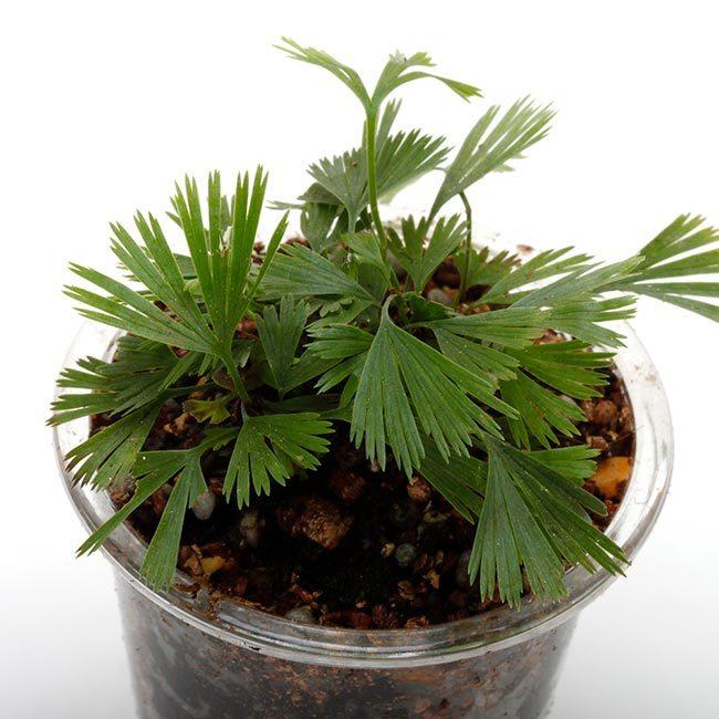 New arrival plants and FORESTA | 新掲載植物 可愛いシダやネペンテスなどなどとフォレスタに関して_d0376039_18074376.jpg
