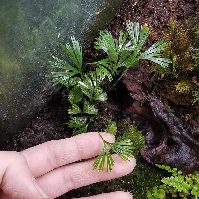 New arrival plants and FORESTA | 新掲載植物 可愛いシダやネペンテスなどなどとフォレスタに関して_d0376039_18124579.jpg