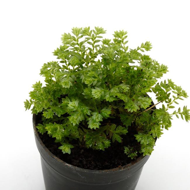 New arrival plants and FORESTA | 新掲載植物 可愛いシダやネペンテスなどなどとフォレスタに関して_d0376039_18224197.jpg