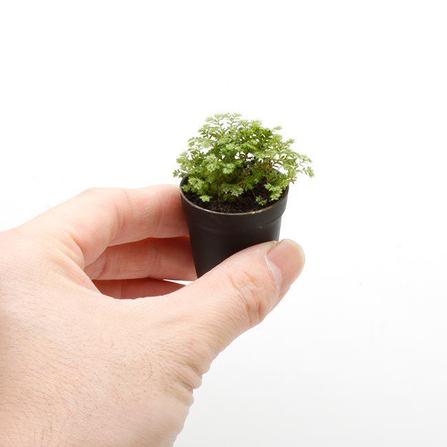 New arrival plants and FORESTA | 新掲載植物 可愛いシダやネペンテスなどなどとフォレスタに関して_d0376039_18252387.jpg